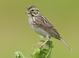 Savannah_sparrow-05