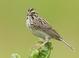 Savannah_sparrow-02