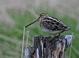 Alternate-plumaged adult in spring