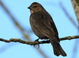 """Winter female (January), not """"double spoon"""" look to the tip of the tail. When looking through mixed blackbird flocks on a wire or in a tree, this tail shape is very useful for picking out cowbirds."""