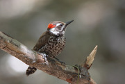 Arizona Woodpecker