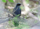 Blue Mockingbird