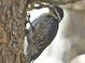 Basic-plumaged adult female