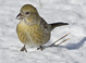 Winter adult female (January), Connecticut.