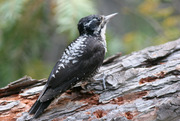 American Three-toed Woodpecker