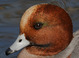 Basic-plumaged adult male (December). Green feathering behind the eye is shown by many adult male Eurasian Wigeon and not indicative of the bird being a hybrid.