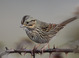 Heavy streaking below suggests hatch-year bird (November)