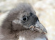Nestling in hand (Project Puffin)