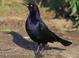 Basic-plumaged adult male, light eye indicative of Atlantic population