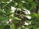 Adult building nest (June)
