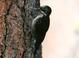 Basic-plumaged adult male.
