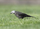 Partially leucistic adult female (March). Leucism is prevalent in blackbirds and most often evident on the head, wings and tail.