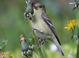 Dull spring adult female (April), Oregon