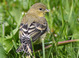 """Dull spring adult female (May), Oregon. Note the more olive coloration compared to the """"Bright"""" spring female. Adult females are highly variable with some dull and olive-gray like this bird and others nearly as bright yellow as males."""