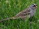 "Alternate-plumaged adult ""leucophrys"" (May)"