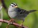"Alternate-plumaged adult ""gambelii"" (May)"