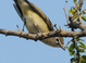 Spring adult (May), Washington. Since they molt just once annually (in Fall), vireos tend to exhibit their dullest plumage in spring and summer.