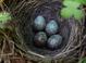 Nest of pugetensis subspecies.
