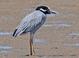 Alternate-plumaged adults