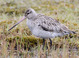Basic-plumaged adult female (June), note long, fairly heavy bill