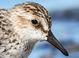 Adult in alternate plumage (June)