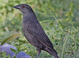 """Female in basic plumage (May) of the western subspecies """"assimilis"""". Females of this subspecies are paler and grayer than the eastern subspecies """"aeneus"""""""