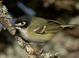 Basic-plumaged adult (April). Note solid black cap and bright reddish-orange iris.
