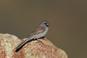 Blackchinnedsparrow2