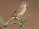 Late summer alternate-plumaged adult (August), Arizona.