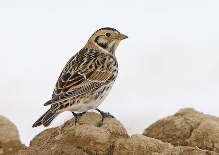 Lapland Longspur, Identification, All About Birds - Cornell Lab of ...