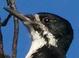 Basic-plumaged adult female (July)