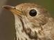Basic-plumaged adult (June)