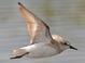 Alternate-plumage adult (July)