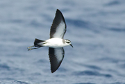 White-faced Storm-Petrel