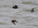 "Fall (October), New Jersey. These birds were part of the post ""Sandy"" flight in late October 2012. Lower bird is a dark-morph adult, upper bird appears to be a dark-morph adult, and the righthand a sub-adult light-morph of uncertain age."