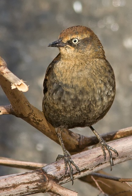 Rusty Blackbird in Winter
