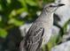 Spring adult (May), Bahamas.