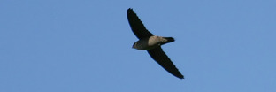 Swifts