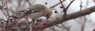 Waxwings