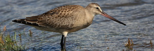 Sandpipers, Phalaropes, and Allies