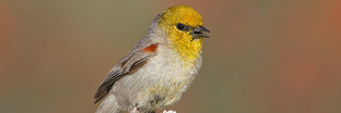Verdin