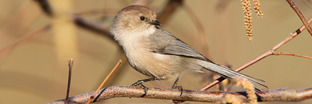Bushtits
