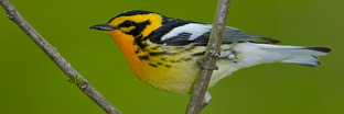 Wood-Warblers