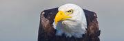 Hawks, Kites, Eagles, and Allies