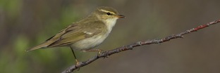 Old World Warblers and Gnatcatchers