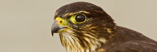 Caracaras and Falcons