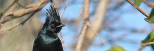 Silky-flycatchers
