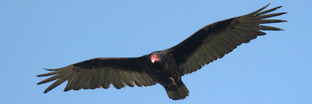 New World Vultures