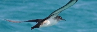 Shearwaters and and Petrels