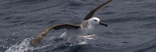 Albatrosses
